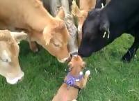 Ένα κουτάβι εξάπτει την περιέργεια ενός κοπαδιού αγελάδων...