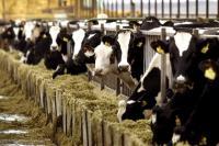 Γερμανία: Περδόμενες αγελάδες προκάλεσαν έκρηξη σε εκτροφείο!
