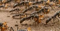Τα μυρμήγκια μεταφέρουν μετά τη μάχη τους τραυματισμένους στρατιώτες τους