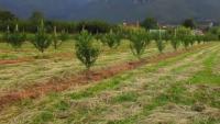 Μείωση παραγωγής και εισοδήματος λόγω ζημιών σε καλλιέργειες ροδάκινων και αχλαδιών στην Π.Ε.Τρικάλων