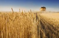Δειγματοληψίες σε καλλιέργειες σκληρού σίτου