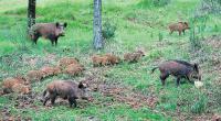 Ξεκινούν τα μέτρα διαχείρισης του πληθυσμού των αγριόχοιρων στη Θεσσαλία